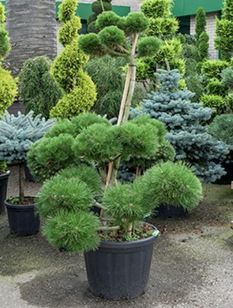 Pinus nigra brepo 190 cm - Bonsai