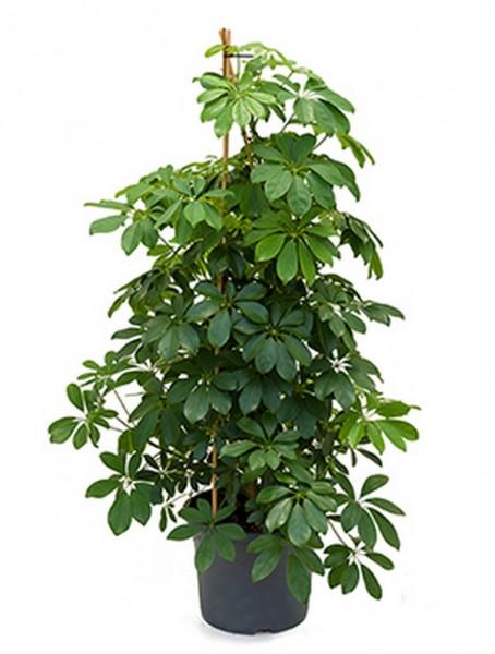 Schefflera arboricola - Strahlenaralie Pyramide 140 cm
