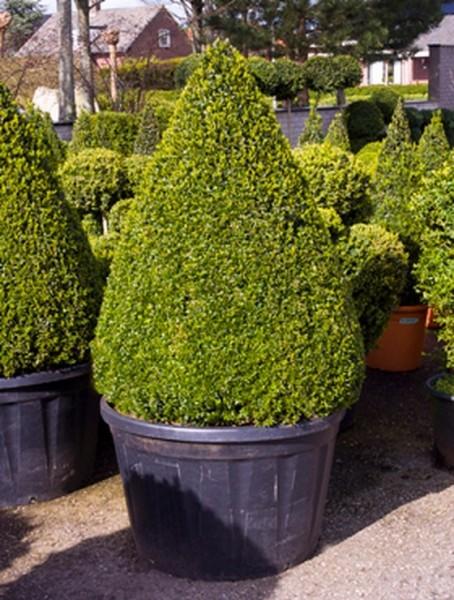 Buxus semp. 180 cm   Buchsbaum Pyramide