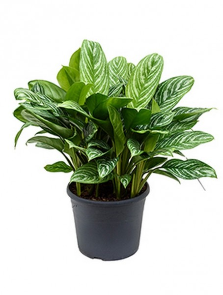 Aglaonema stripes 70 cm