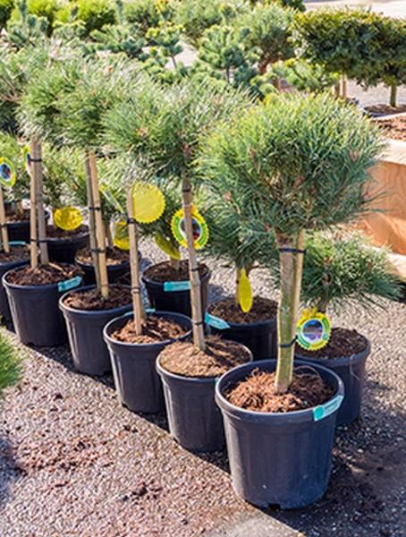 Pinus sylvestris watereri 105cm