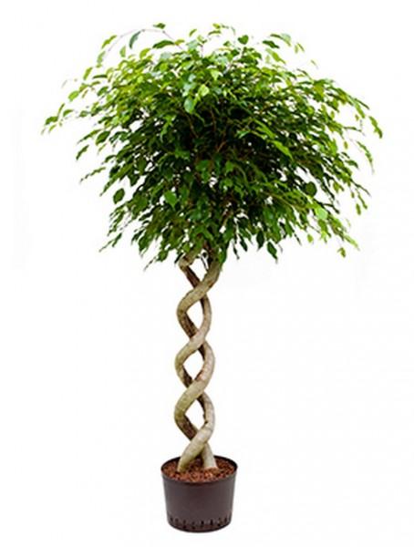 Ficus benjamina - Birkenfeige doppelspirale 160cm