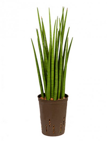 Sansevieria spikes 55 cm | Hydrokultur