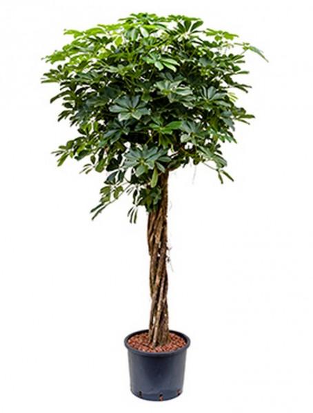 Schefflera arboricola | Strahlenaralie extra 185 cm