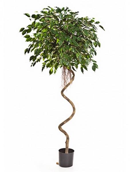Ficus exotica spiral - Kunstbaum 200 cm