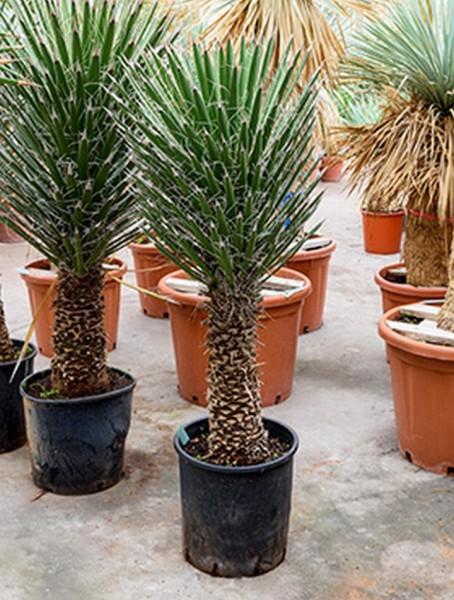 Yucca filifera 140 - 150 cm
