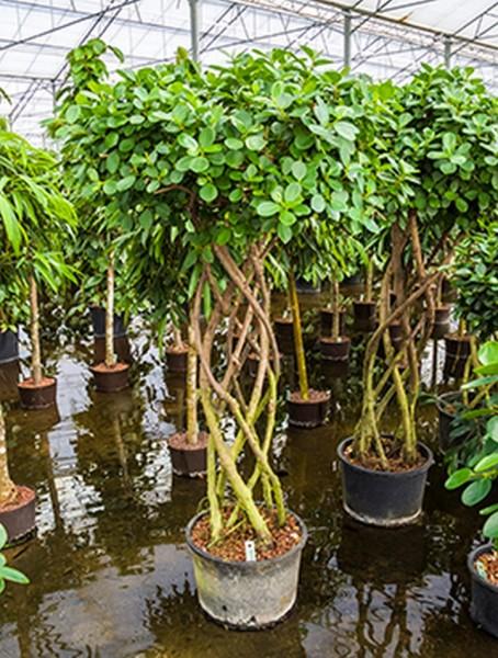 Ficus panda 190 cm | Feigenbau geflochten