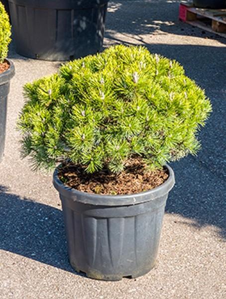 Pinus mugo mops 80cm