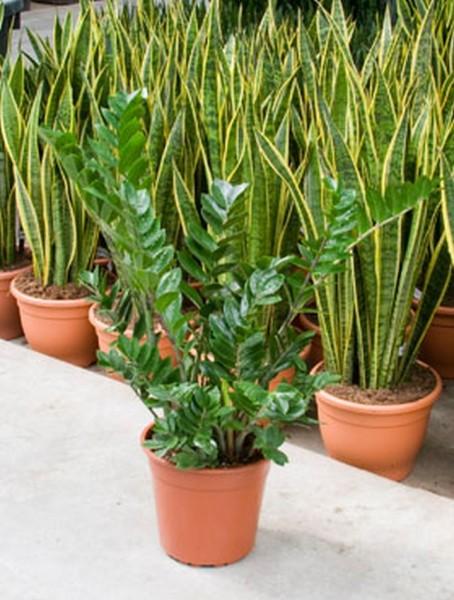 Zamioculcas zamiifolia 80 cm