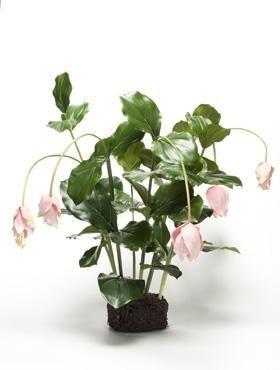 Medinilla Rosa - Kunstblume