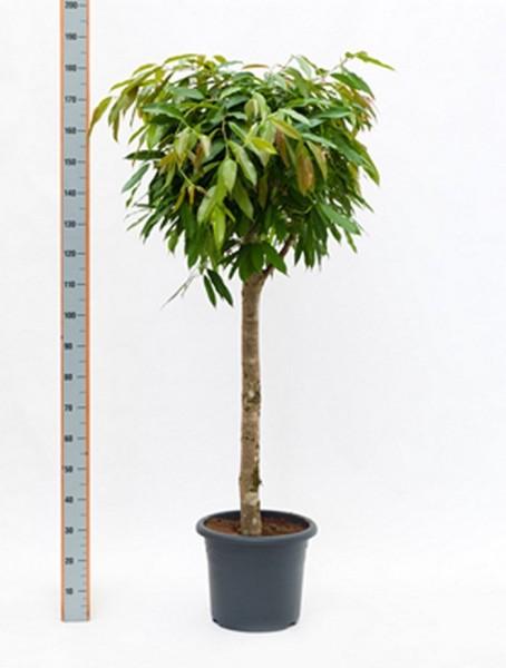 Ficus amstel king 180 cm