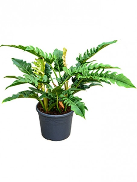 Philodendron narrow 60cm