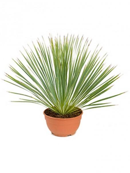 Yucca rostrata Kopf 60 cm