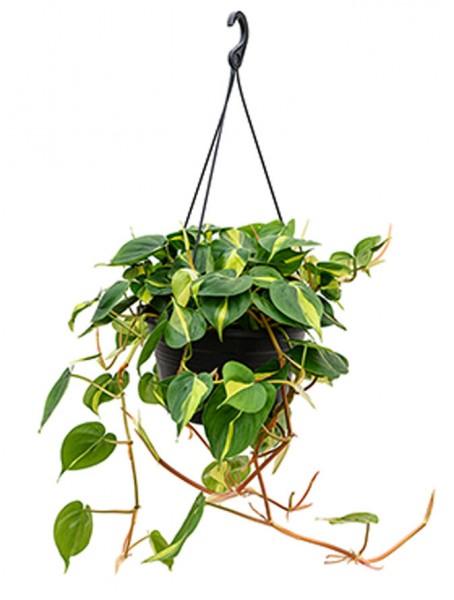 Philodendron grand brasil Ampel 40cm