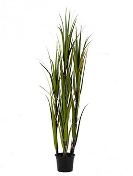 Sugarcane Gras 150 cm | Zuckerrohr Kunstgras im Plastiktopf