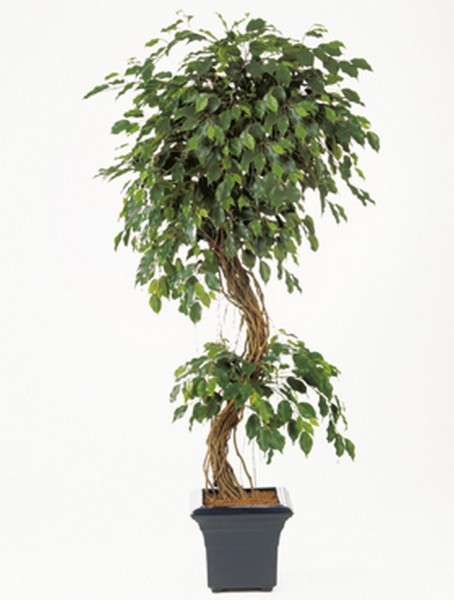 Ficus exotica corkscrew | Kunstbaum
