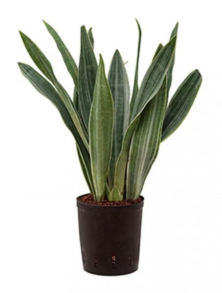 Sansevieria metallica 70 cm