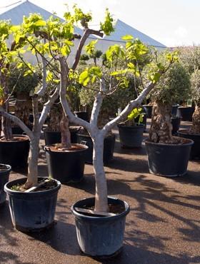 Ficus carica190 cm