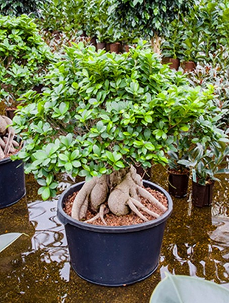 Ficus microcarpa ginseng 120 cm   Bonsai