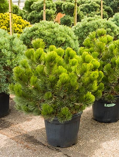 Pinus heldreichii compact 90cm