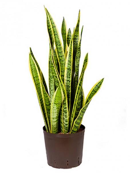 Sansevieria laurentii 70 cm| Hydrokultur