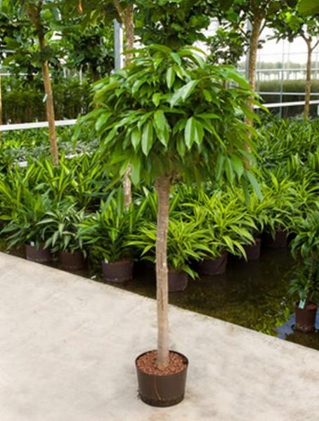 Ficus amstel king 165 cm
