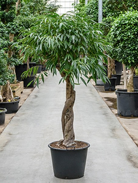 Ficus alii 190 cm - Bonsai