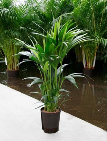 Kentia forsteriana | Fiederpalme 80cm