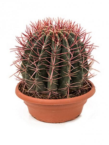 Ferocactus stainesii 30cm
