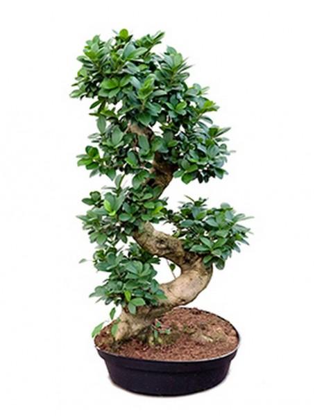 Ficus microcarpa compacta 90 cm - Stamm S