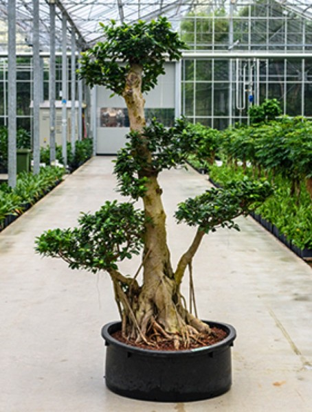 Ficus microcarpa compacta Bonsai 230 cm