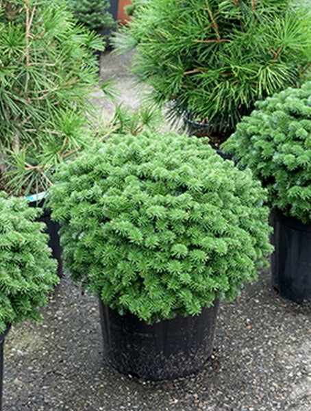 Abies koreana brillant 60 cm