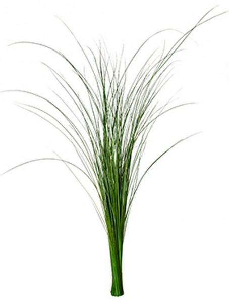 Gynerium Gras Mumienpflanze 85 cm