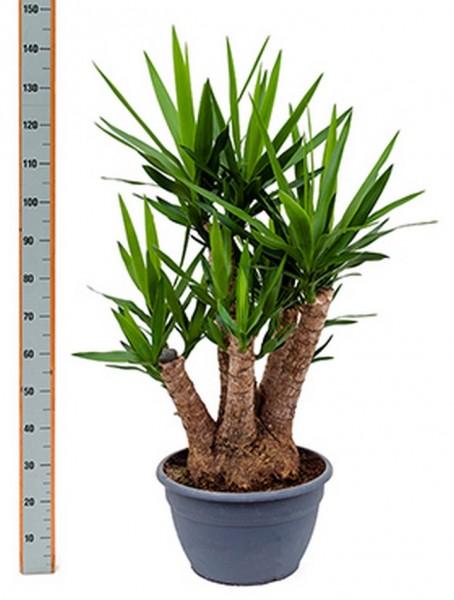 Yucca elephantipes 120 cm | verzweigt
