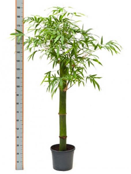 Bambusa vulgaris grün 170 cm