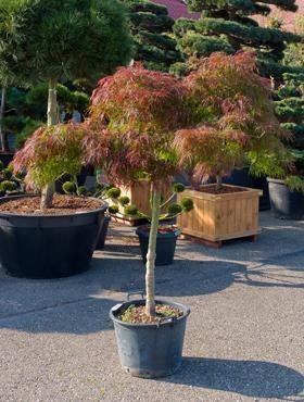 Acer palmatum diss. inaba shidare 180 cm