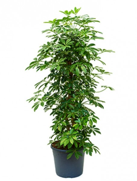 Schefflera arboricola 145cm Strahlenaralie Säule