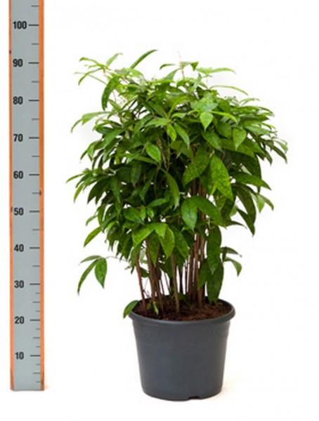 Dracaena surculosa 80 cm - Drachenbaum Busch