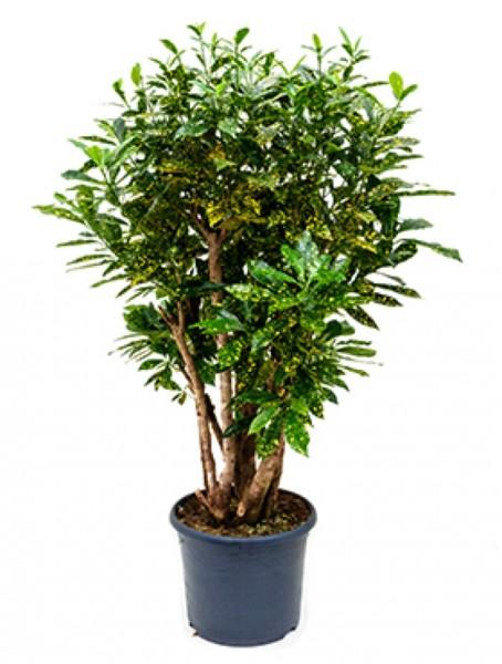 Croton aucubaefolia verzweigt 120 cm