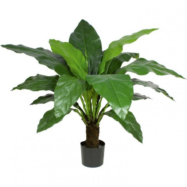 Anthurie Jungle King 100 cm