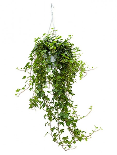 Hedera helix pittsburgh Ampel 90 cm