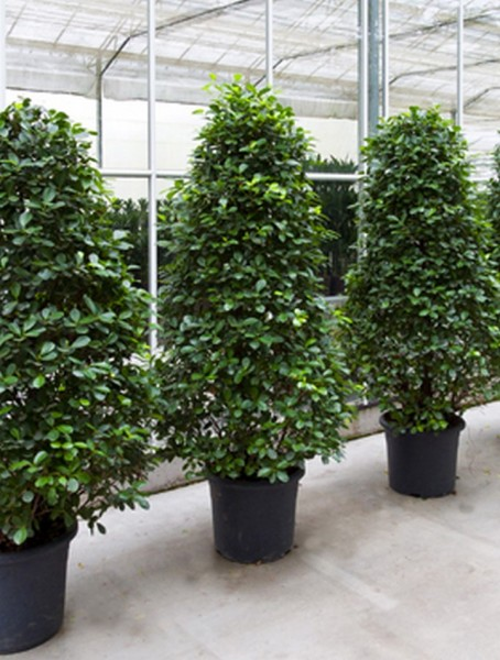 Ficus moclame 220 cm