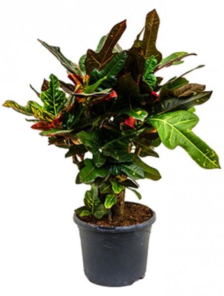 Croton excelent 100 cm