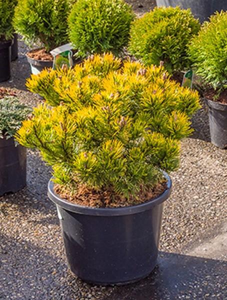Pinus mugo carstens wintergold 55cm