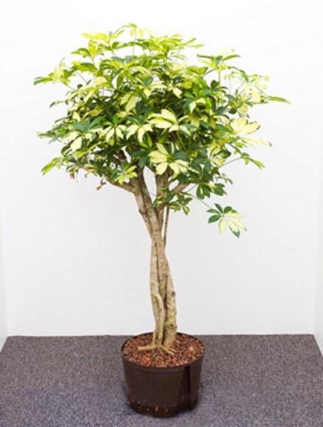 Schefflera trinette 120 cm - Strahlenaralie mit geflochtenen Stamm
