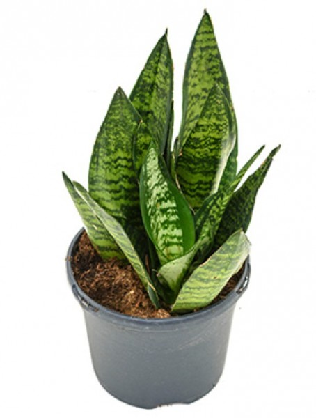 Sansevieria green flame 30cm