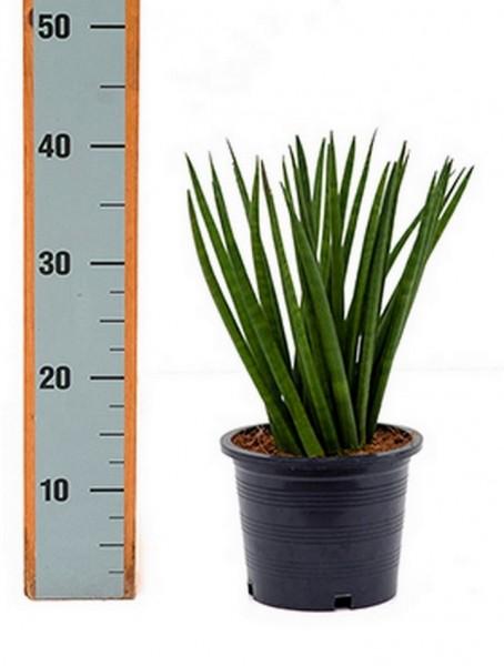 Sansevieria spikes Igel 40 cm