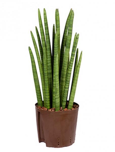 Sansevieria cylindrica tower 65 cm   Hydrokultur