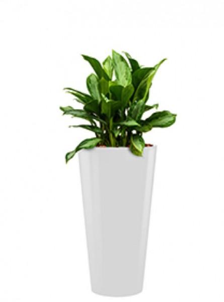 Standard Runner Pflanzkübel rund weiss bepflanzt mit Aglaonema silver