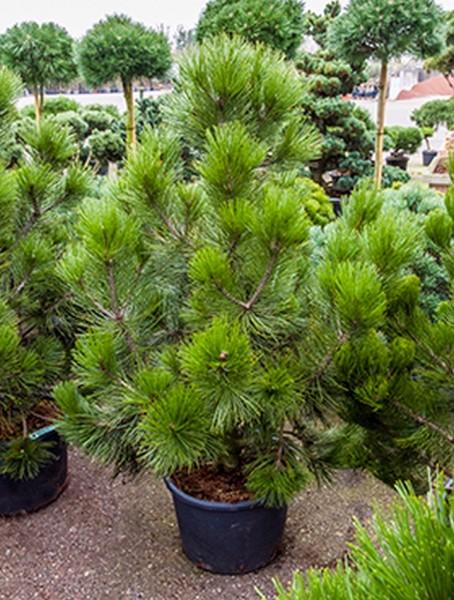 Pinus heldreichii den ouden 165cm